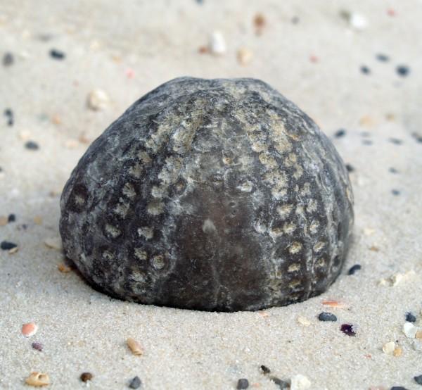 piedra estrella de mar fosil de