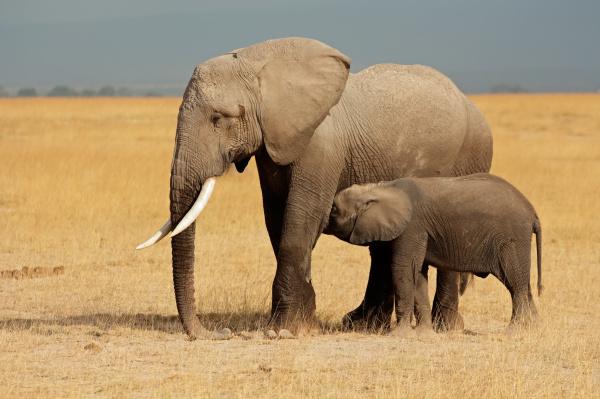 elefante, africano, con, becerro - 10094120