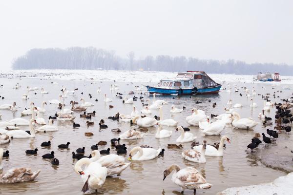 invierno pajaro salvaje cisne fauna grupo