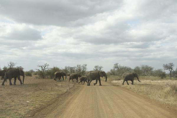 manada de elefantes cruzando la carretera