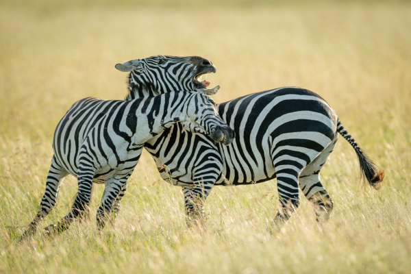 plains, zebras, play, fighting, in, tall - 28257557