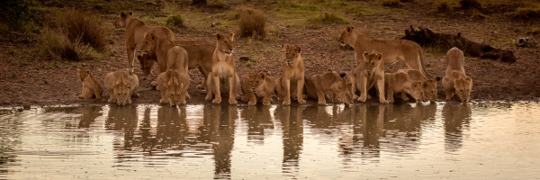 pride, of, lions, lie, drinking, from - 28257562
