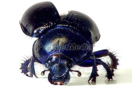azul perigo close up opcional inseto