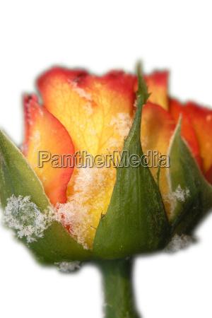 invierno flor rosa planta verde hielo