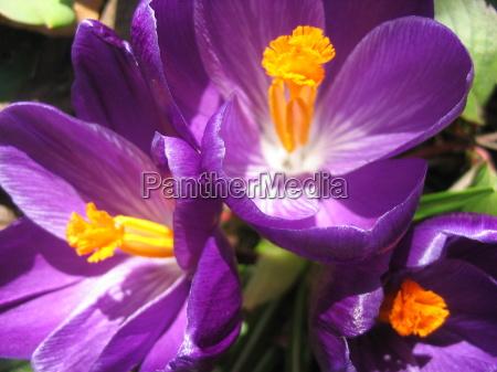 close up jardim primavera acafrao roxo