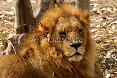desierto africa leon gato botswana