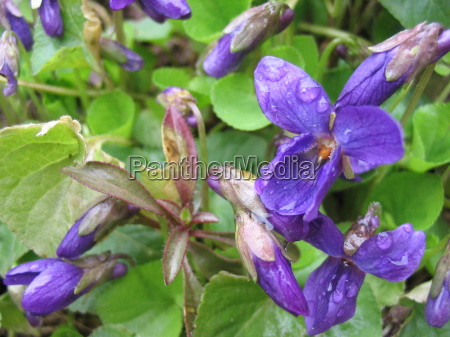 violeta viola fruehlingsblueher veilchenblau wildveilchen fruehlingsboten