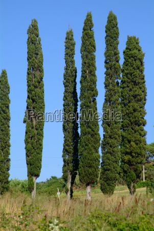 tree cypress 6