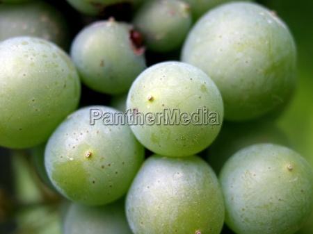 planta verde alcohol vid fruta viticultura