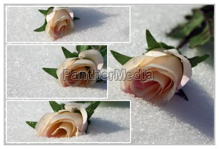 arte composicion invierno flor planta rosa