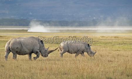 familia rhino