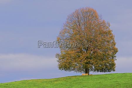 arbol piedra verde hojas suiza tilo