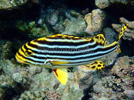pescado submarino inmersion buceo piscis esnorquel