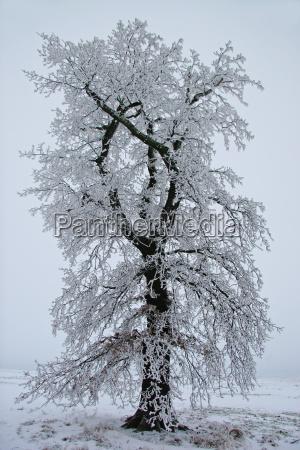 arbol invierno frio hielo helado nieve
