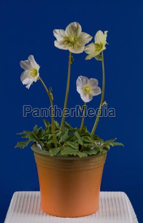 hoja verde flor hojas alpes flores
