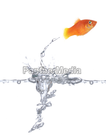 goldfish feliz