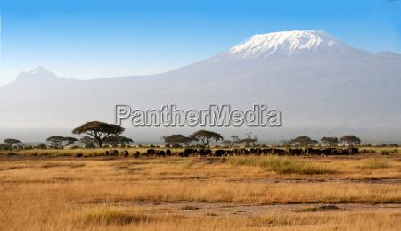 bufalo frente al kilimanjaro
