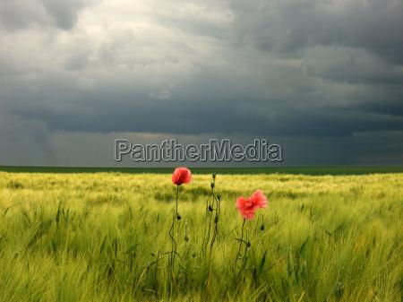 amapola chismosa en campo de cebada