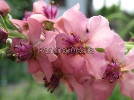 close up flores estames arbusto sangrar