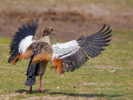 pajaro aves ala tramo aleteo ganso