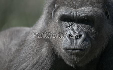 mono gorila