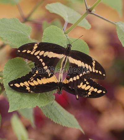 sommerfugl afrika botanik nektar suck sommerfugle
