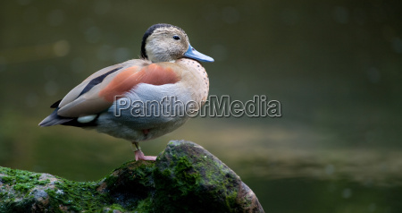animal pantano america pato america del