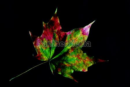 hoja hojas colorido de colores arce