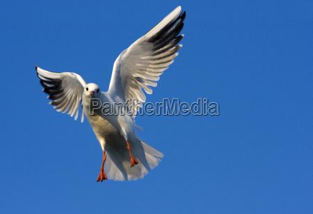 lurking laughing gull