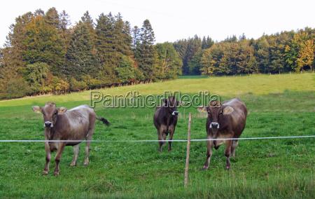 piernas animal verde marron toro cuerno