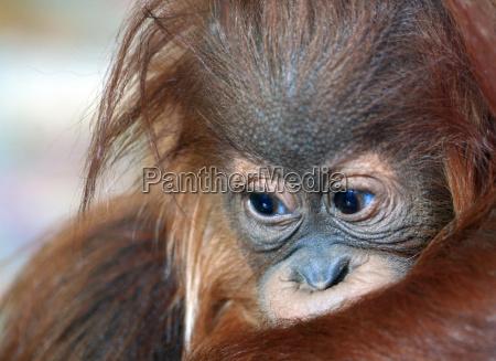 bebe del orangutan