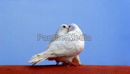 pajaro aves caucasico paloma amor amatorio