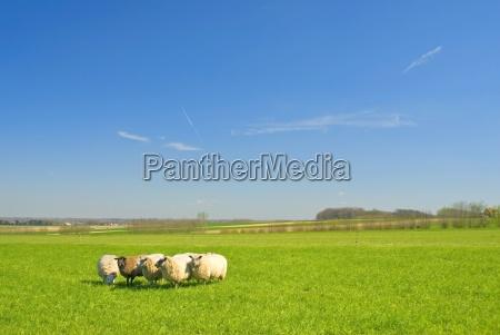 ovejas sobre hierba con cielo azul