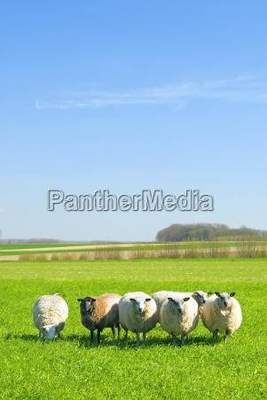 ovejas en el cesped con el