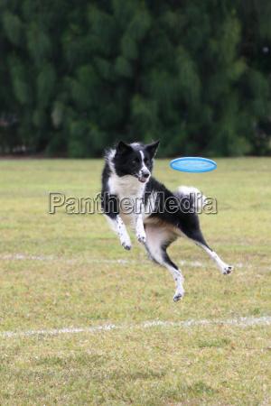 competencia de frisbee
