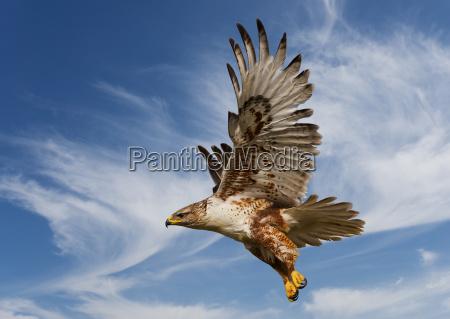 halcon ferruginoso