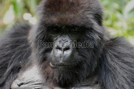gorila en ruanda