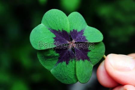 mano hojas trebol afortunado planta