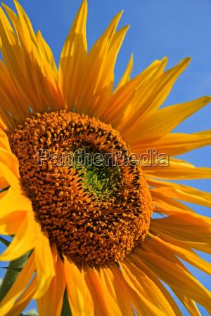 flor planta verano veraniego girasol temporada