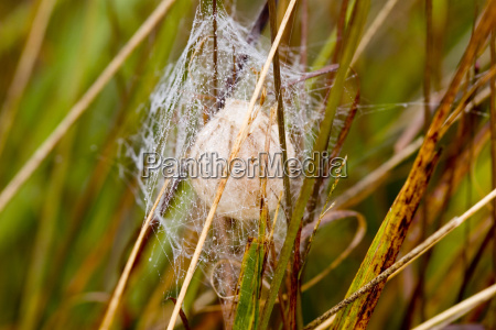 cocoon of the wespenspinne argiope