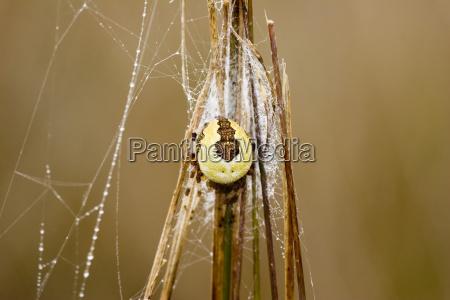 marbled cross spider araneus marmoreus