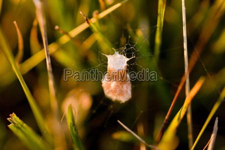 cocoon of wasp spider argiope
