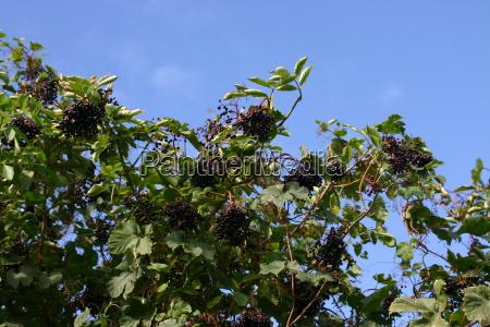 arvore folhas arbusto bagas setembro mais