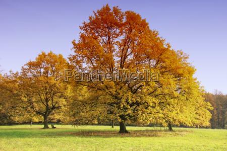 hojas arbol de hoja caduca roble