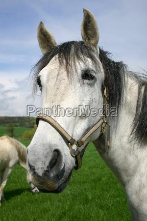 paseo caballo cabestro ver koppel molde