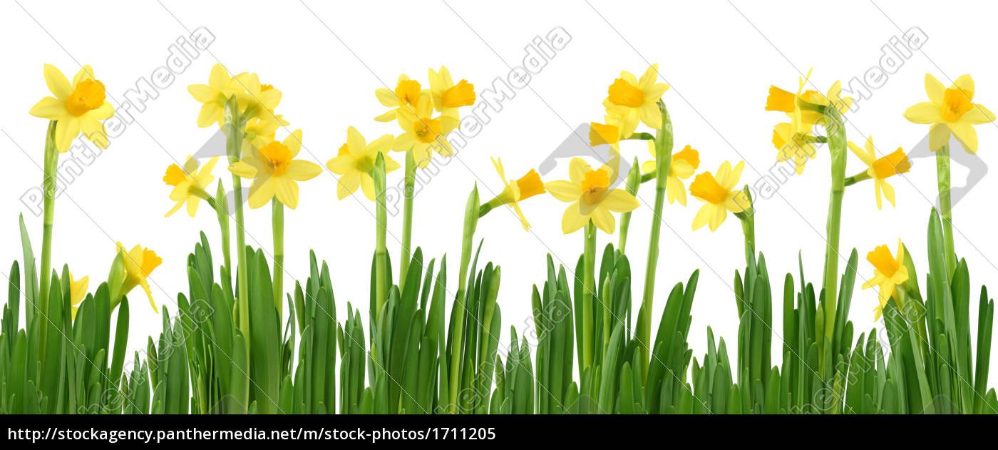 Narcisos Amarillos Aislados En Blanco Foto De Archivo 1711205 - Narcisos-amarillos