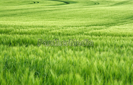 cereales en el viento