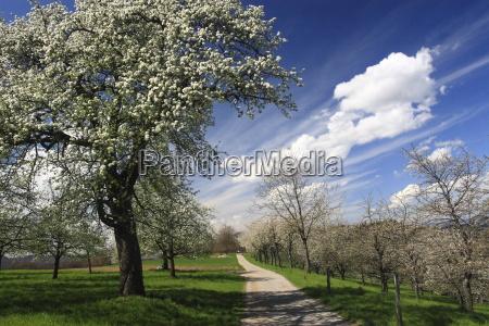 primavera la flor de cerezo flor