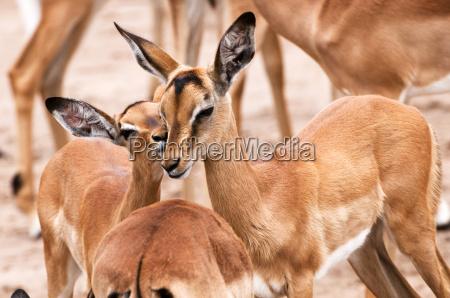 impala whisperer
