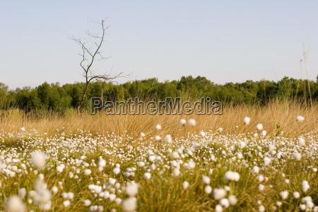 cottongrass in the venn